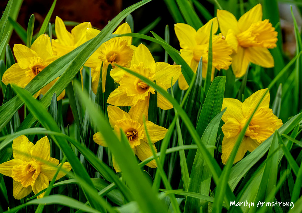 Daffodils are golden yellow in the shape of a long trumpet. They are early budders, so be on the lookout this spring season!